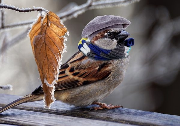 Sparrow in Hat & Scarf